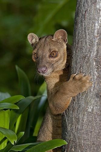 Fosa, carnivore de l'île,comparé à un petit Puma