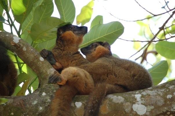 Lémurien de Madagascar avec son bébé