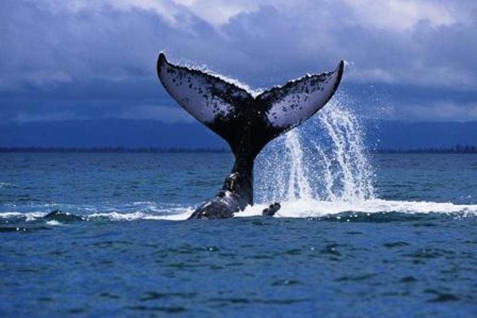Baleine à Bosse à coté du Lagon d'Ifaty
