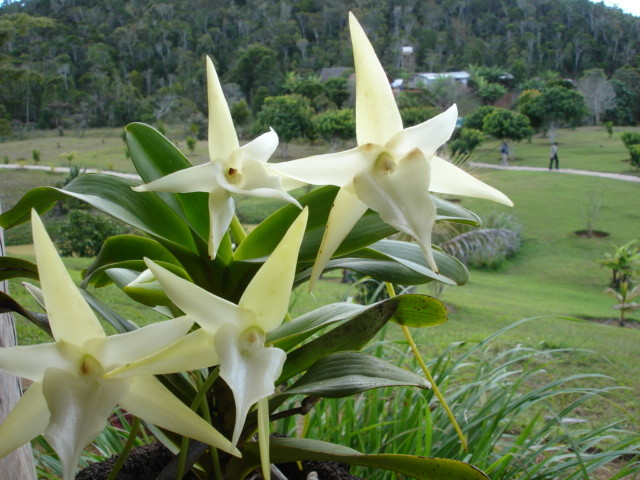 Orchidée de Madagascar