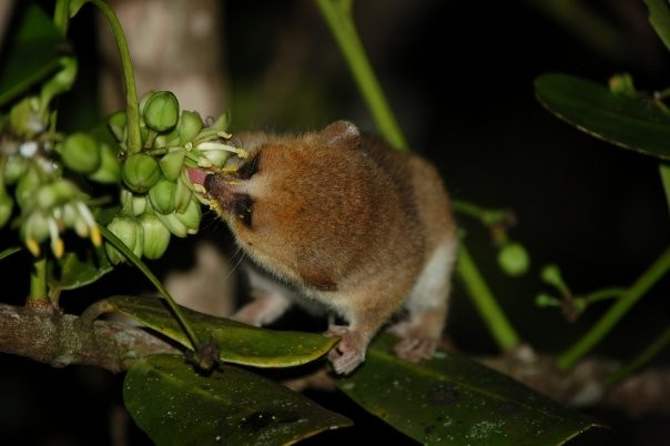 Microcebe; lémurien nain