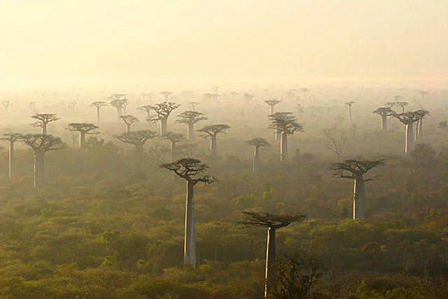 Forêt de Baobabs entre Morondava et Tuléar