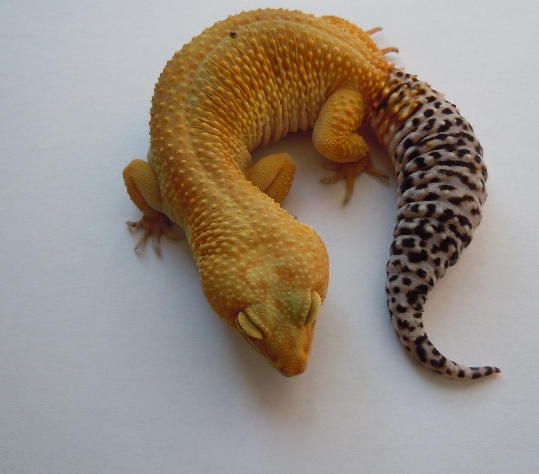 LUALA - 0.1 Super Hypo Tangerine Baldy Giant het. Tremper Albino
