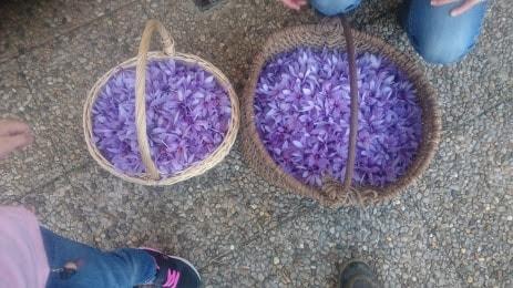 flores de azafrán recogidas a mano en una cesta