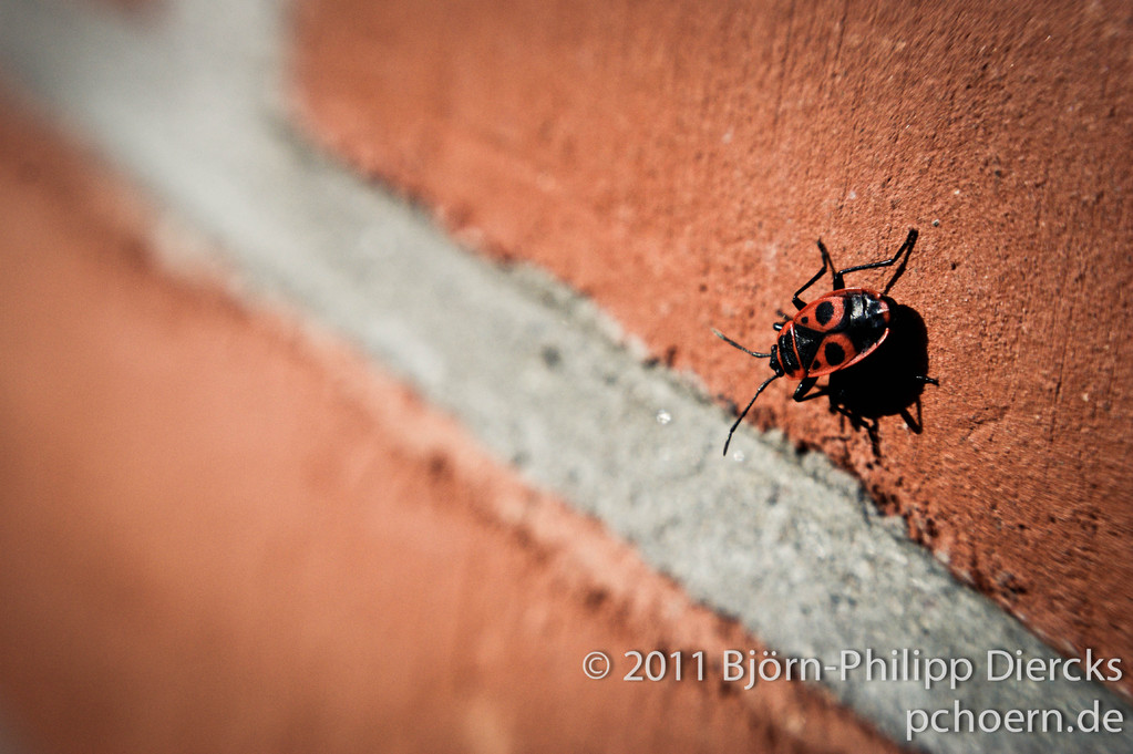 Feuerwanze - Pyrrhocoridae