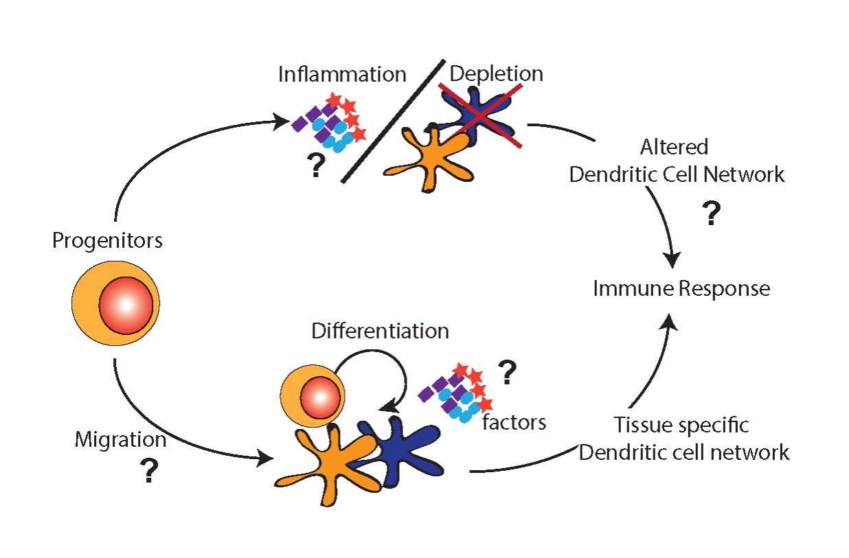 Dendritic Cell Development And Function Schraml Lab De