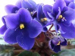 Фиалка - цветок Фаины