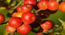 Pomme à Calvados
