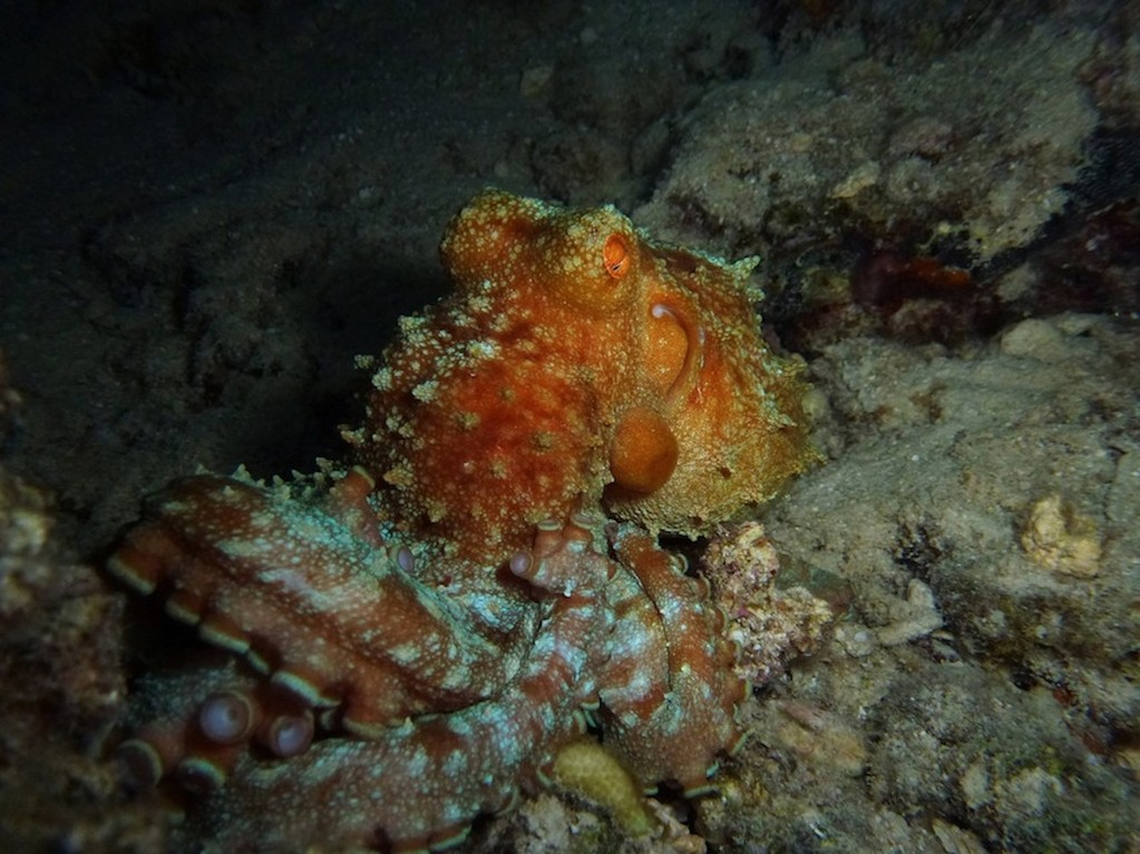 roter Krake ( Red big octopus )