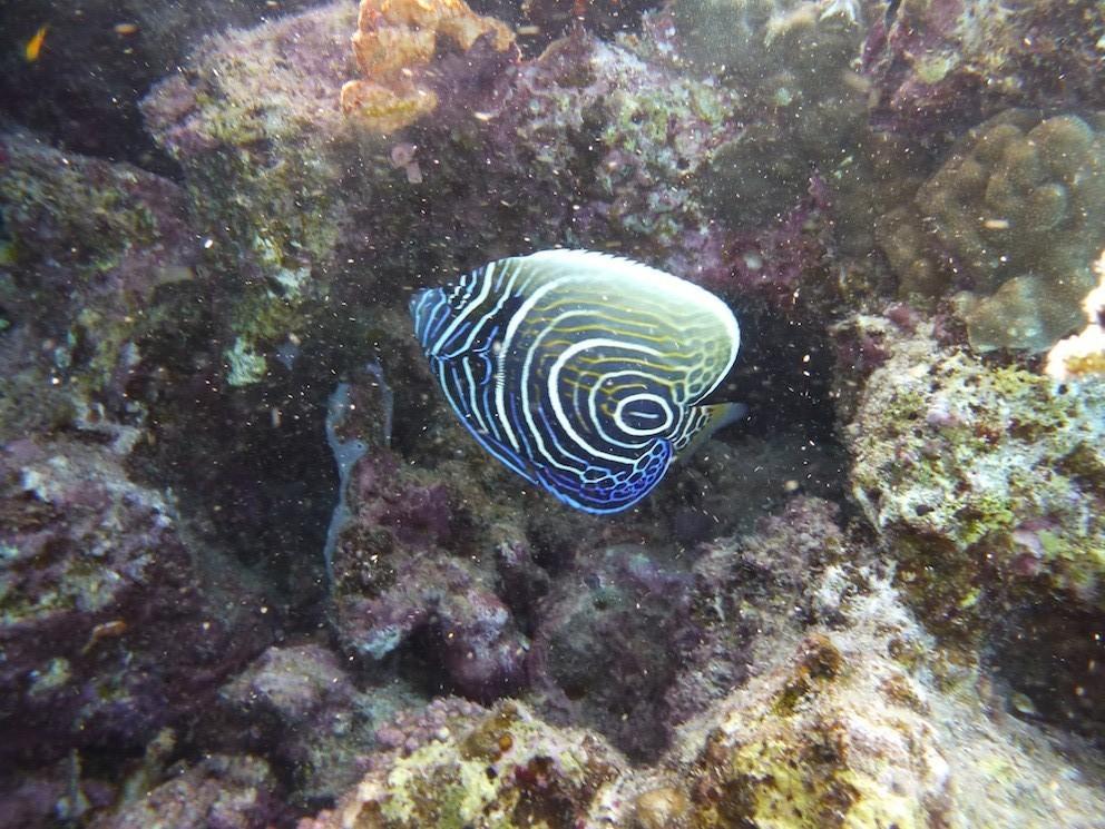 Juveniler Imperator - Kaiserfisch ( Young Emperor angelfish )