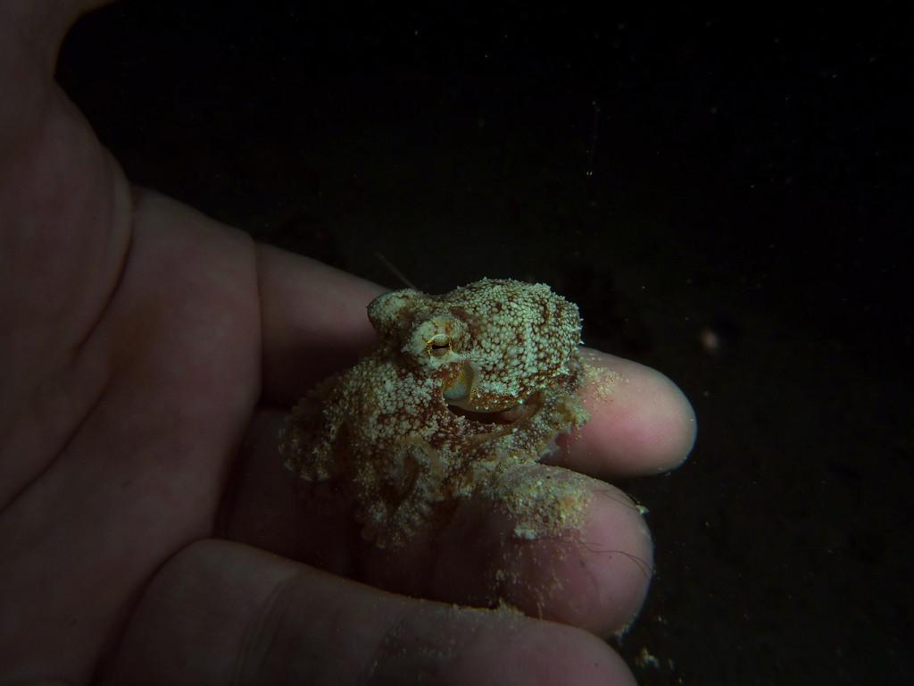 Kleiner Kraken