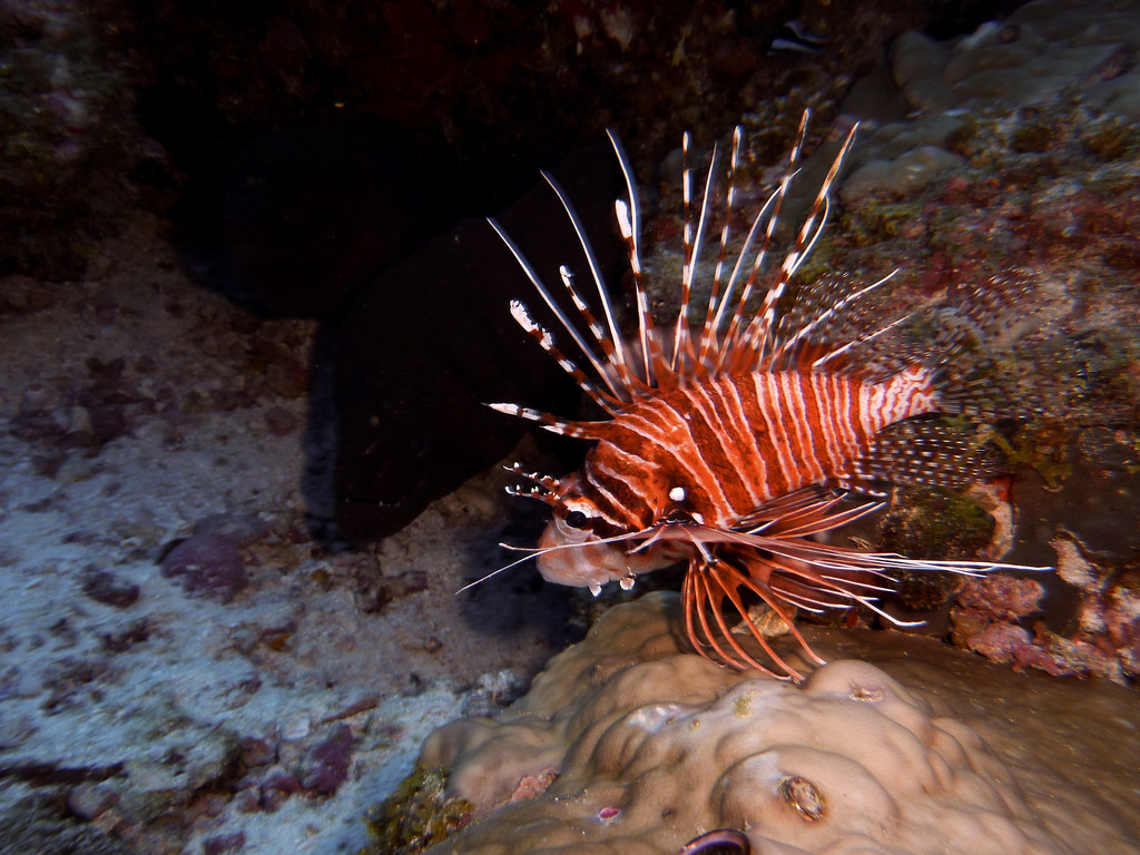 Antennen - Feuerfisch