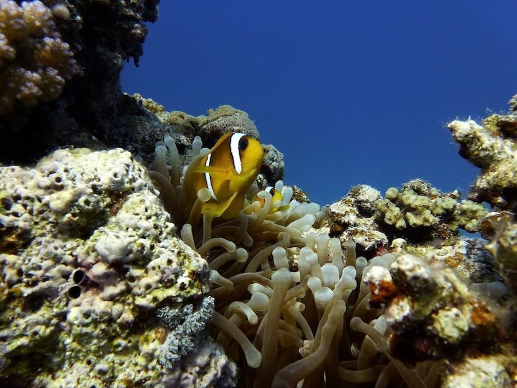 Rotmeer - Anemonenfisch ( Red Sea anemonefish )