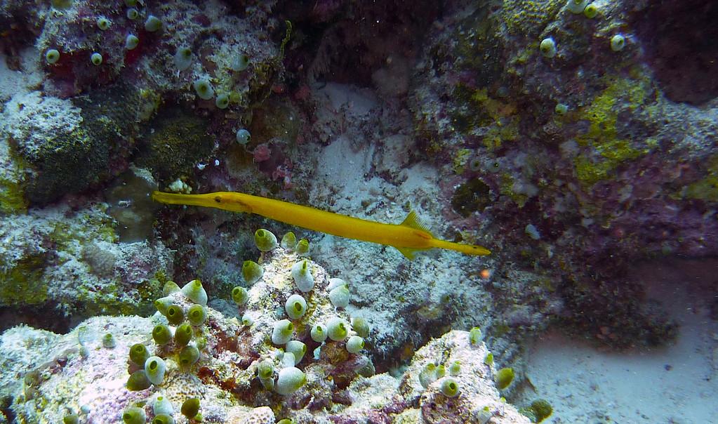 Gelber - Trompetenfisch