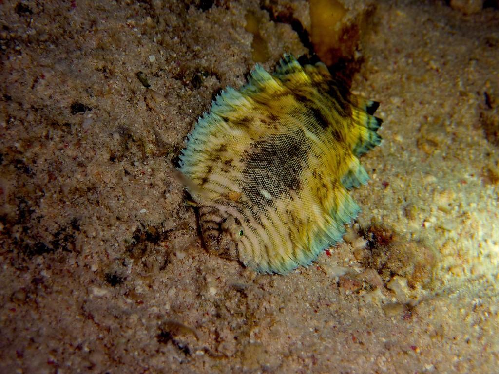 Blaurand-Seezunge