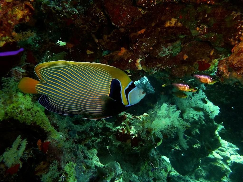 Imperator - Kaiserfisch ( Emperor angelfish )