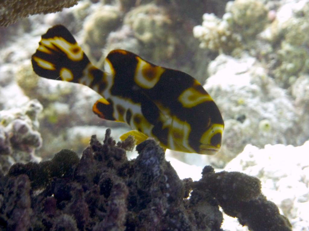 Orient - Süßlippe Jungfisch