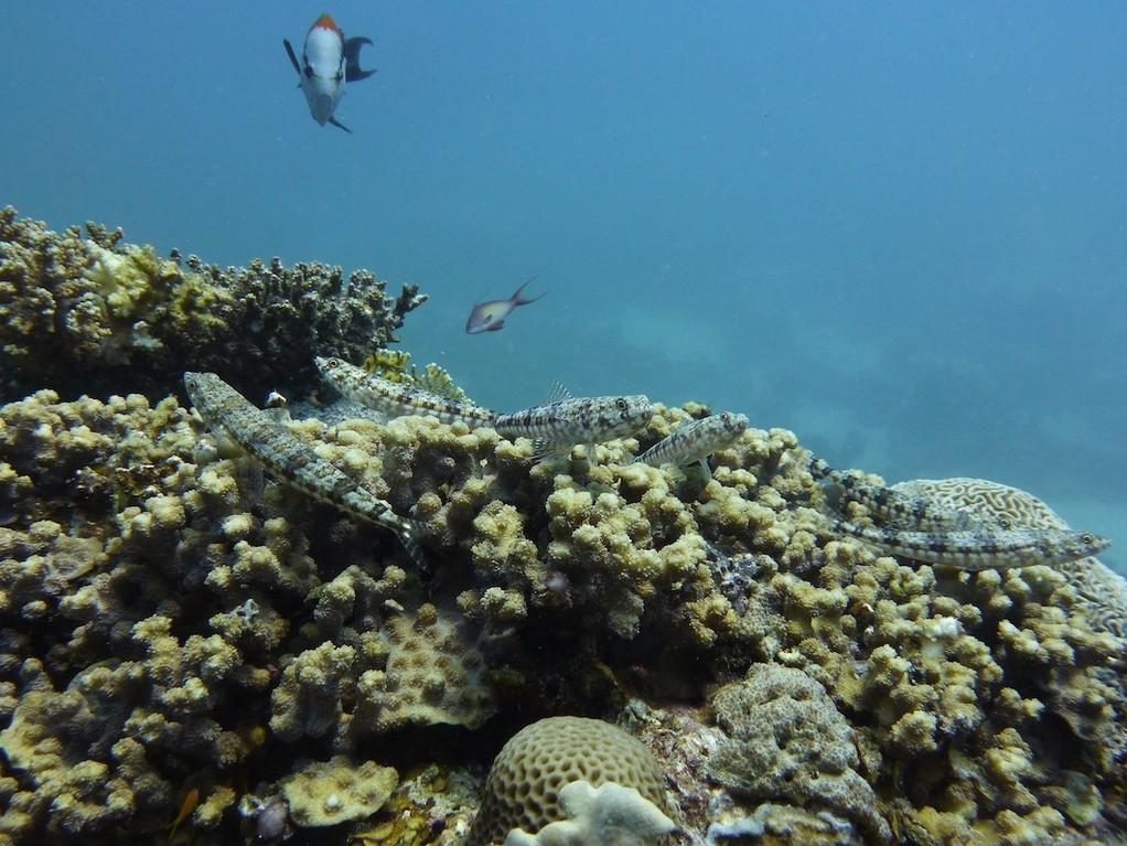 Riff - Eidechsenfisch ( Variegated lizardfish )