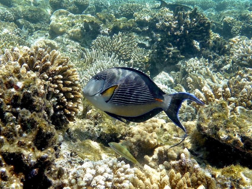 Arabischer Doktorfisch ( Arabian surgeonfish )
