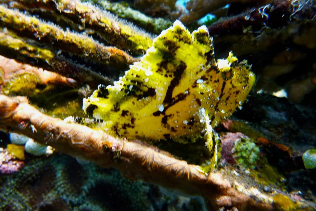 gelber Schaukelfisch