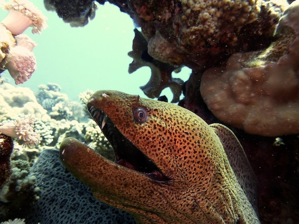 Riesenmuräne ( Giant moray )