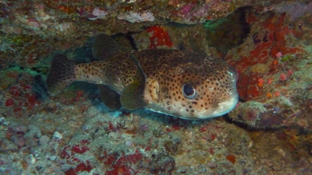 Schwarzfleck - Igelfisch