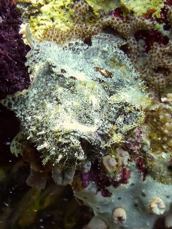 Rundflecken - Anglerfisch ( Painted aglerfish )