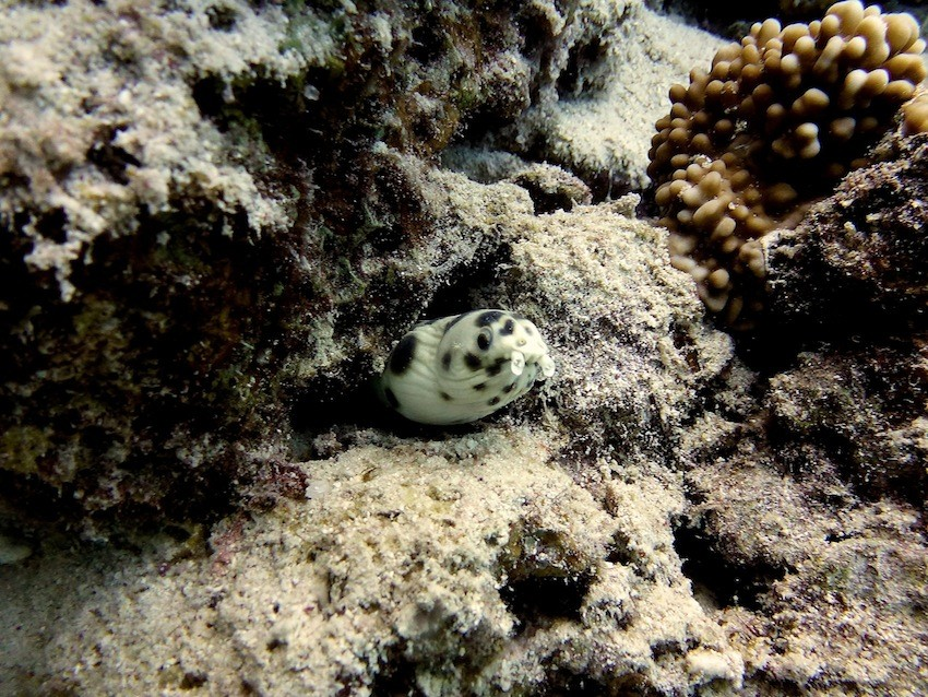 Gepunkteter Schlangenaal ( Banded snake eel )