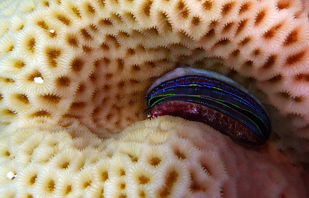 Korallen-Kammuschel