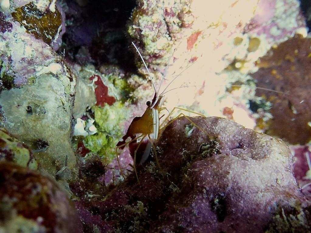 Weißband - Putzergarnele ( White-banded cleaner shrimp )