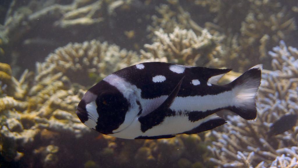Schwarzweiß - Schnapper Jungfisch