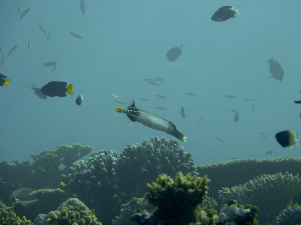 Grauer - Trompetenfisch