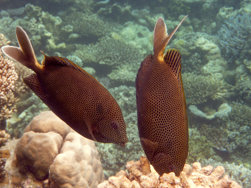 Tüpfel - Kaninchenfisch