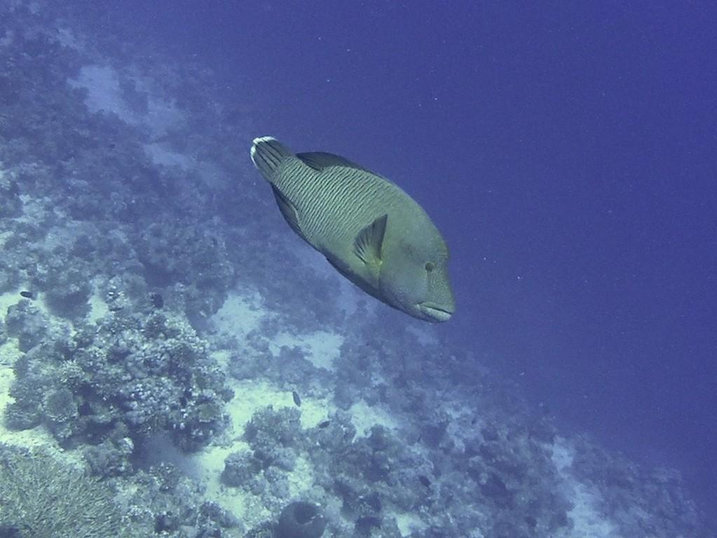 Napoleon ( Napoleonfish )