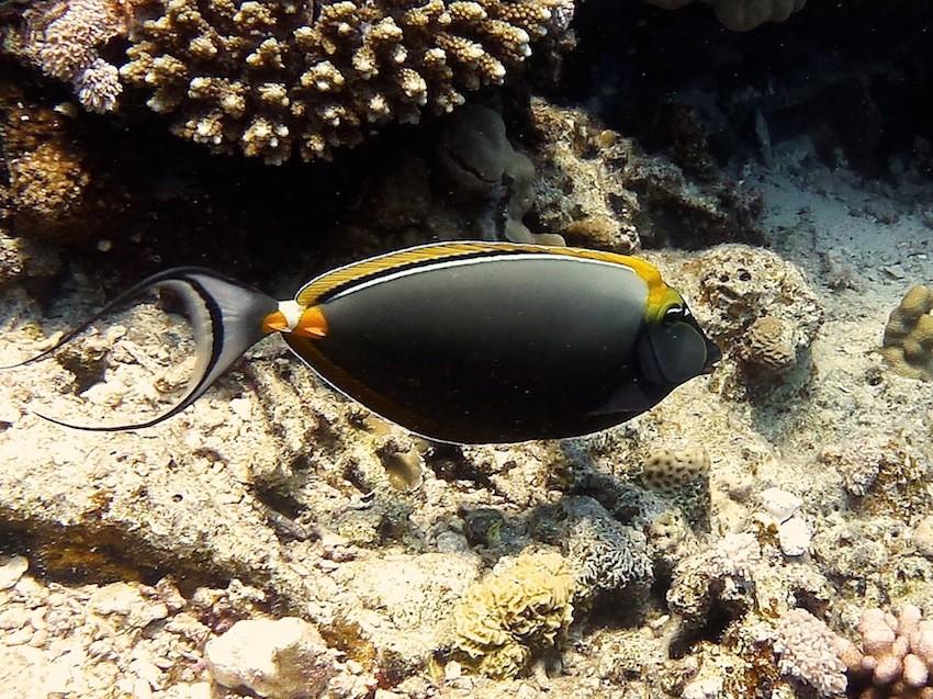 Gelbklingen - Nasendoktor ( Orangespine unicornfish )