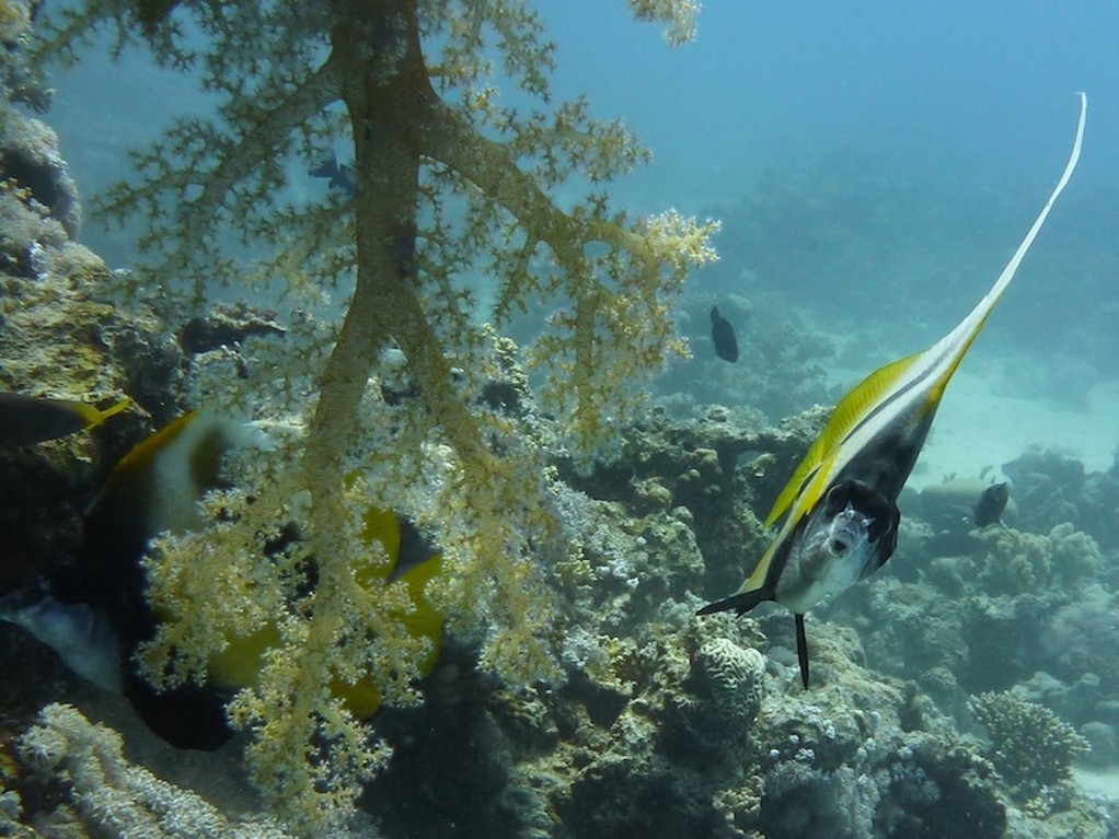 Rotmeer - Wimpelfisch ( Red Sea bannerfish )