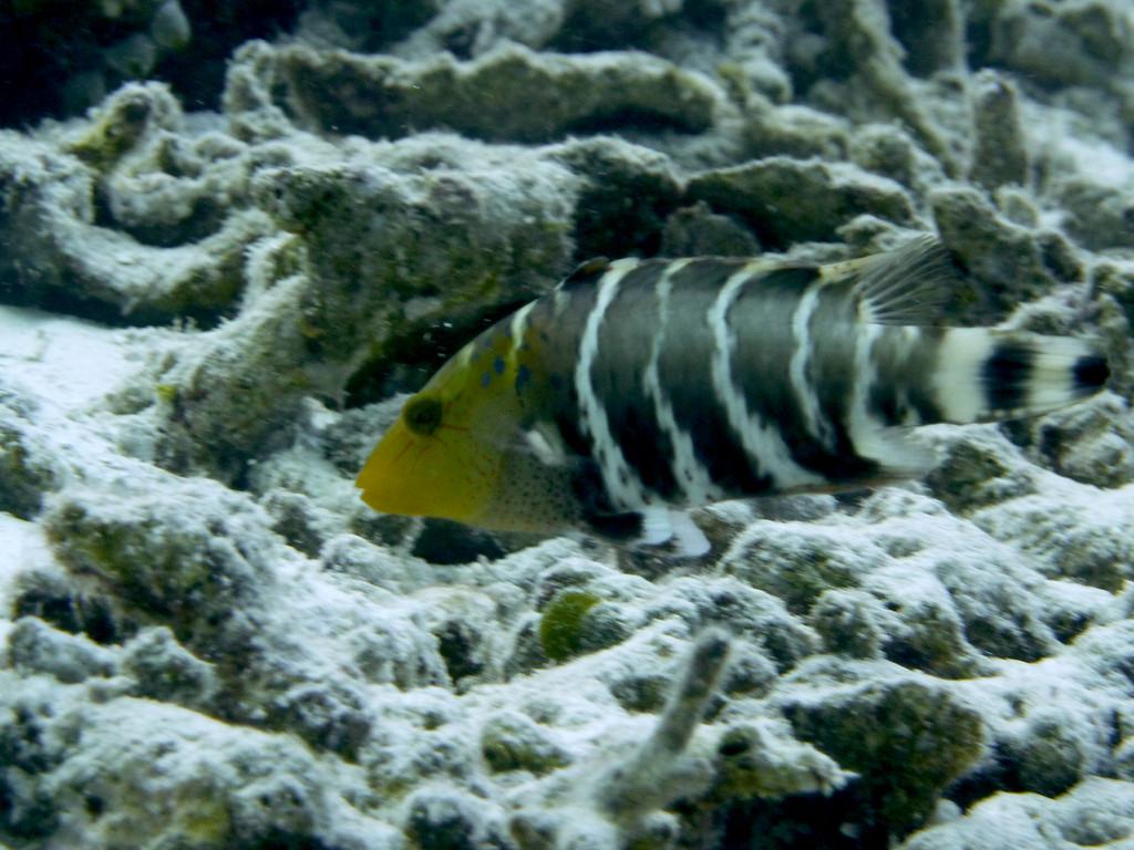 Rotbrust - Lippfisch