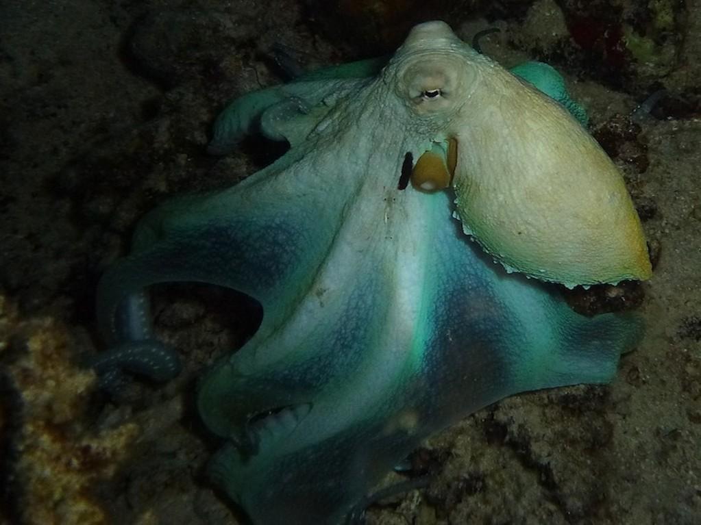 Roter Krake ( Big red octopus )