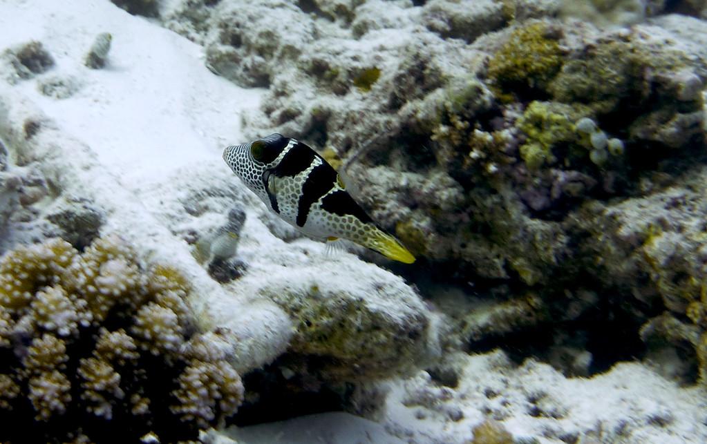 Mimikry - Feilenfisch