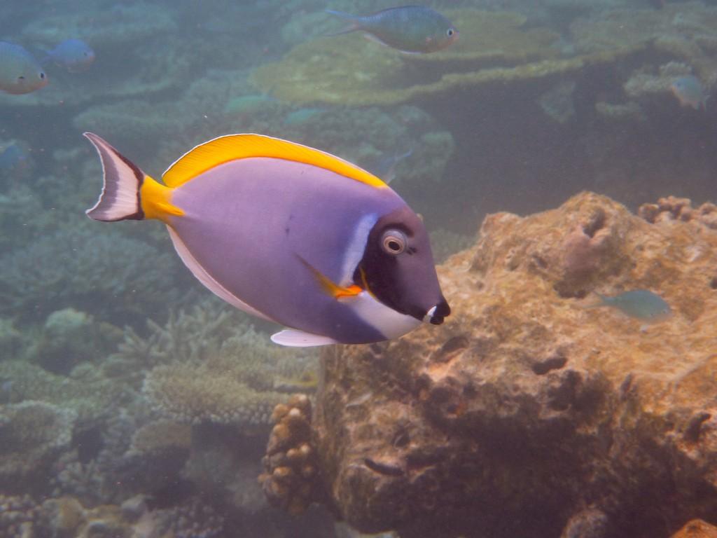 Weiskehl - Doktorfisch
