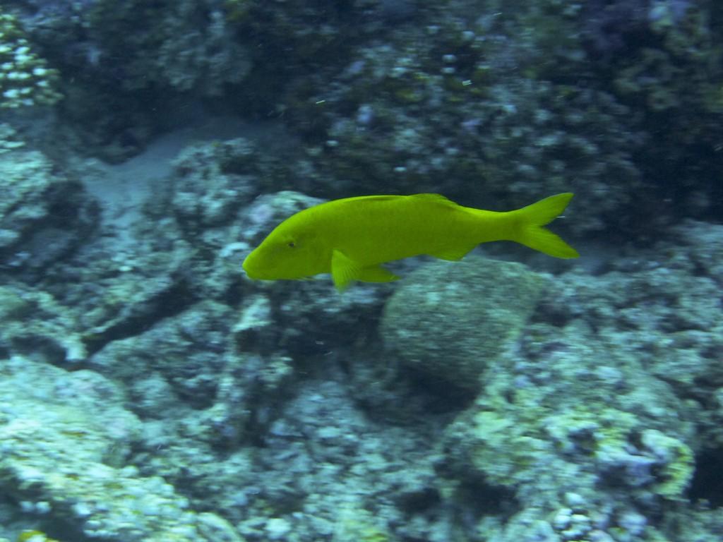 Gelbsattel - Meerbarbe