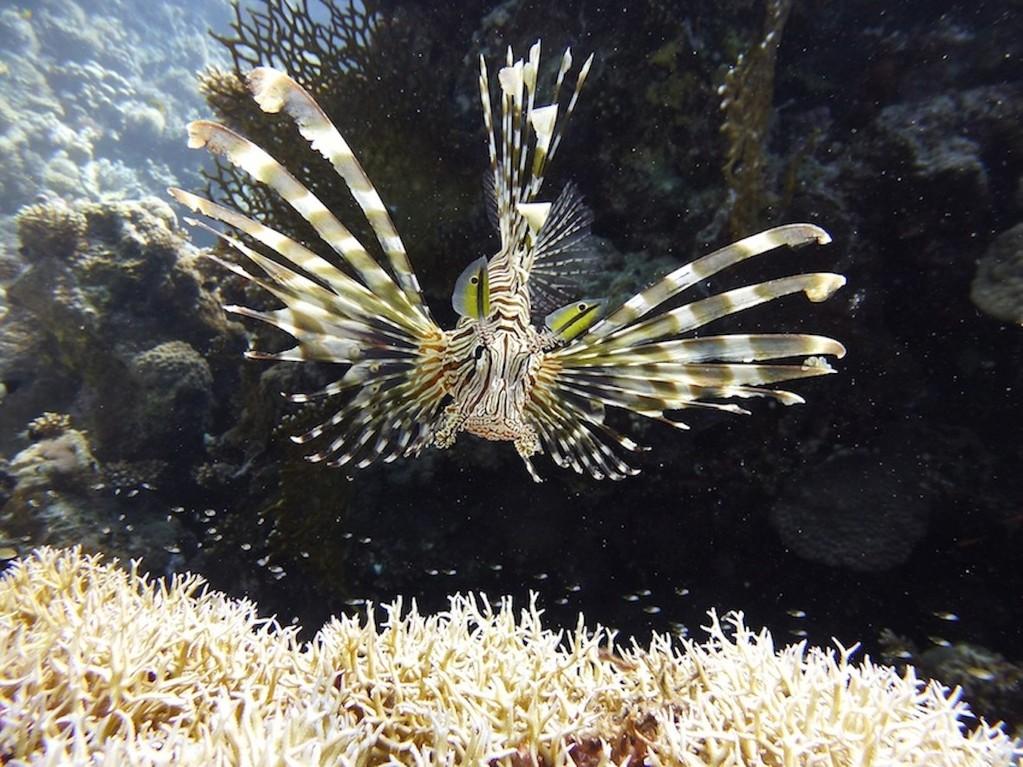 Gewöhnlicher Rotfeuerfisch ( Common lionfish )