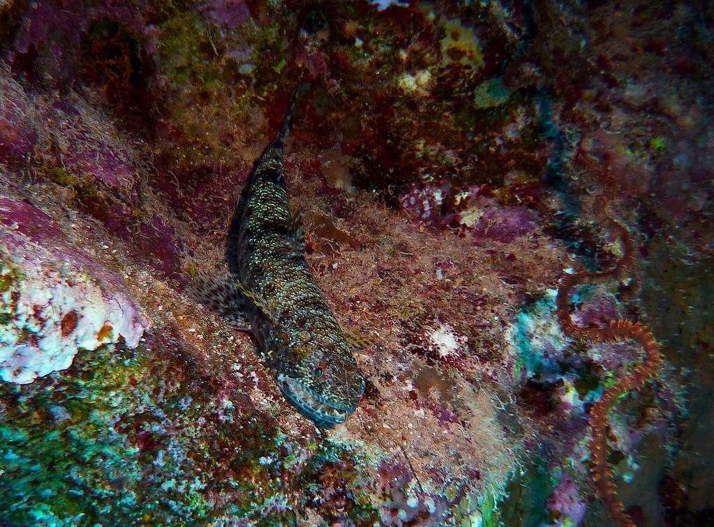 Riff-Eidechsenfisch