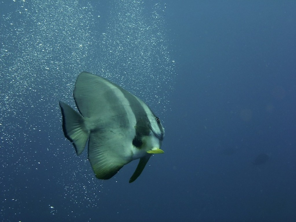 Rundkopf - Fledermausfisch ( Circular batfish )