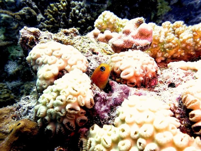 Schleimfisch ( blenny )