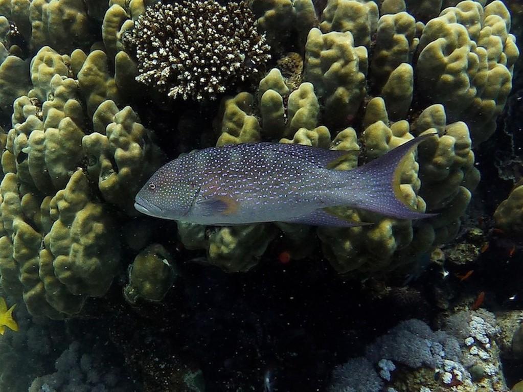 Mondsichel - Juwelenbarsch ( Moon grouper )