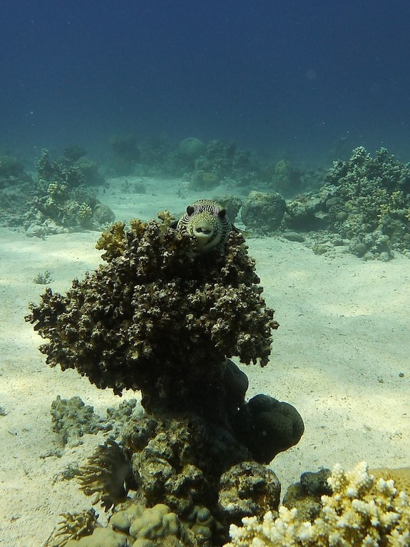 Riesen - Kugelfisch ( Giant puffer )