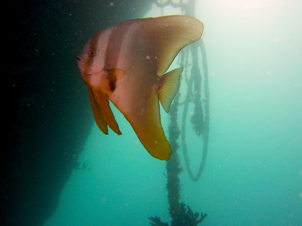 Juveliner Rundkopf Fledermausfisch