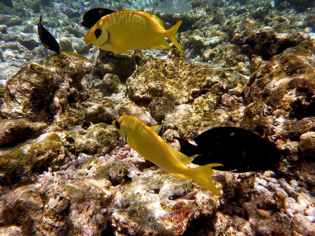 Korallen - Kaninchenfisch