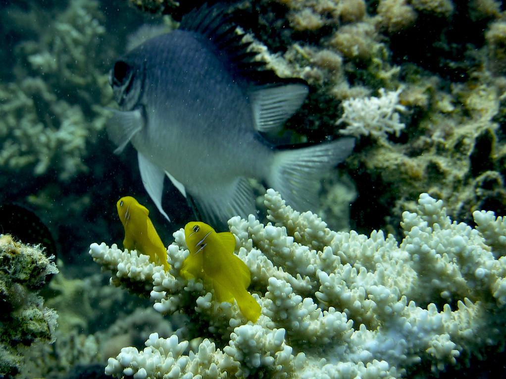 Zitronen-Korallengrundel